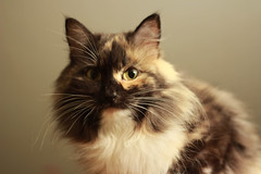 domestic long-haired cat, animal, maine coon, small to medium-sized cats, pet, siberian, close-up, cat, carnivoran, whiskers, norwegian forest cat,