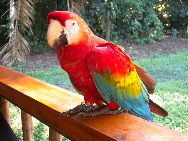 Scarlet Macaw at the Tambopata Research Center