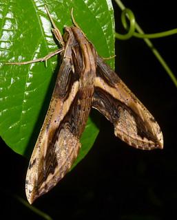 Xylophanes ceratomioides. Sphingidae. Sphingidae. Macroglossinae