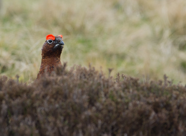 red grouse 7