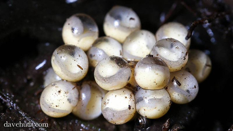 Dusky salamander eggs, developing
