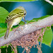 Small photo of Acadian Flycatcher, at nest