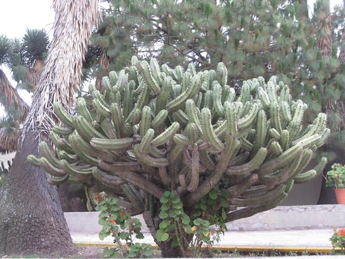 Tula Cactus