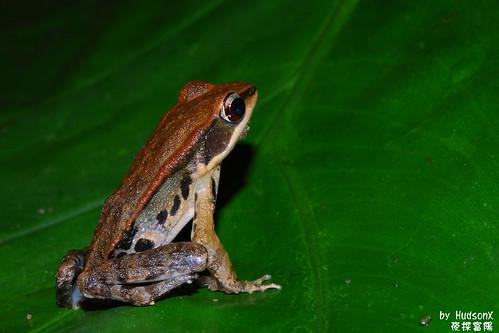拉都希氏赤蛙(4)