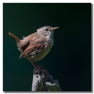 Agitated Wren 3