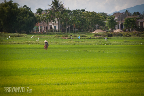 Hoi An rice paddies
