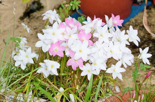 四種風雨蘭 Zephyranthes sp. Labuffarosa 品系花朵