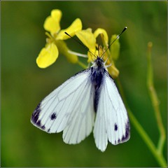 Veined White Butterfly. (Pieris napi/Pieris marginalis). Nikon D3100.DSC_0015.