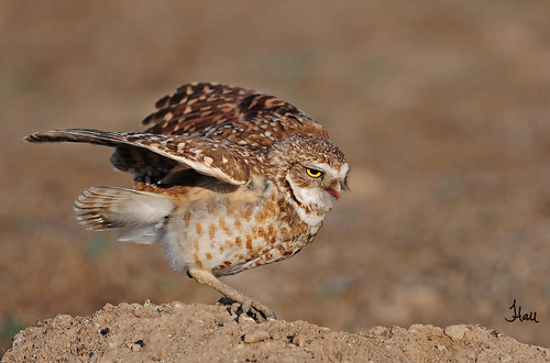 Burrowing Owl - 7435b+sg