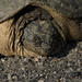 Snapping Turtle_2614.jpg