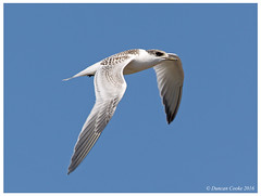 HolderDS0D3313-Sandwich-Tern,-sterna-sandvicensis,-Juvenile