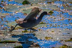Whistling Duck Landing Pad