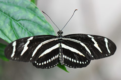 Dallas - Zebra Longwing Butterfly