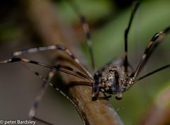 Holderharvester spider