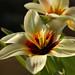 Tulipa fosteriana 'Zombie' — Тюльпан Фостера 'Зомби' by Mikhail Ursus