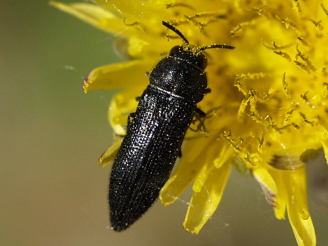 Acmaeodera crinita