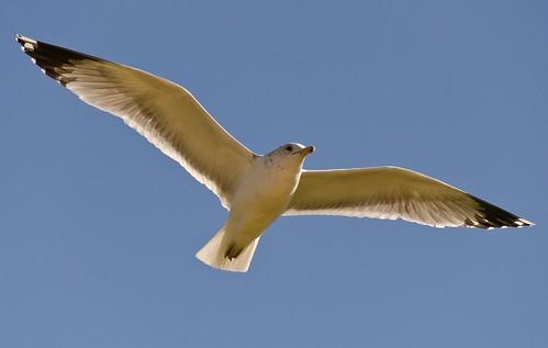 Seagull by radzfoto