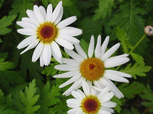 Foto 05-Estreleira (Argyranthemum haematomma)
