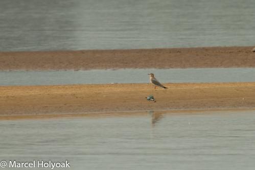 birds waders cameroon shorebirds littoral pratincoles greypratincole graypratincole sanagariver pratincolacinerea
