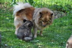 rough collie(0.0), dog breed(1.0), animal(1.0), puppy(1.0), german spitz klein(1.0), dog(1.0), eurasier(1.0), pet(1.0), german spitz(1.0), german spitz mittel(1.0), collie(1.0), carnivoran(1.0), icelandic sheepdog(1.0),