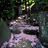 桜の音羽富士