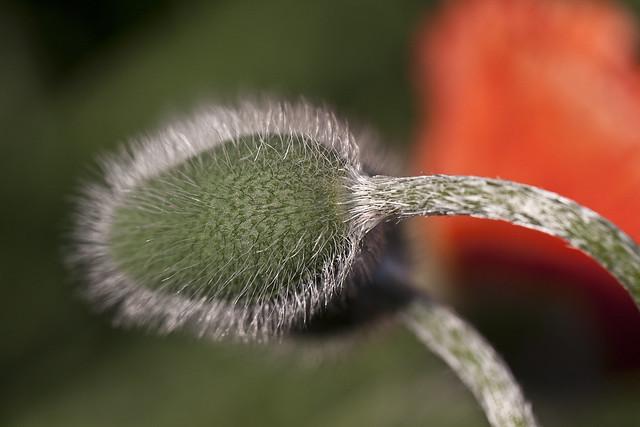 unpopped poppy2