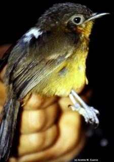 Cercomacra parkeri (Parker's Antbird)