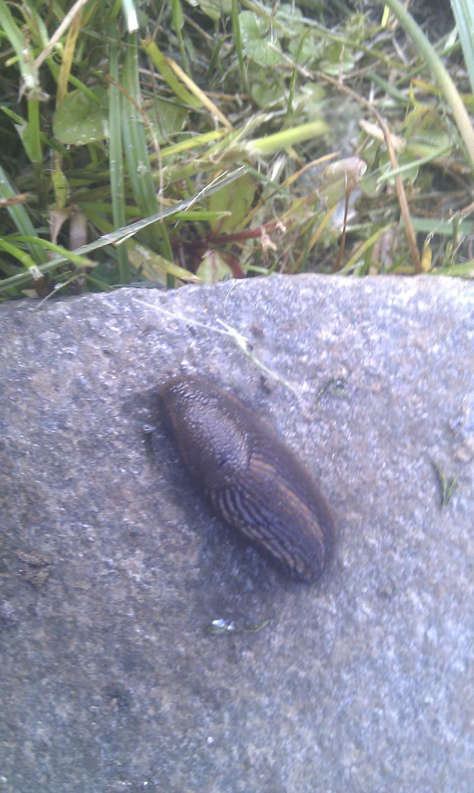 snegle som spiser brunsnegle