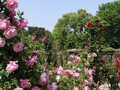 blossom(0.0), rosa wichuraiana(1.0), shrub(1.0), garden roses(1.0), flower(1.0), garden(1.0), plant(1.0), flora(1.0),
