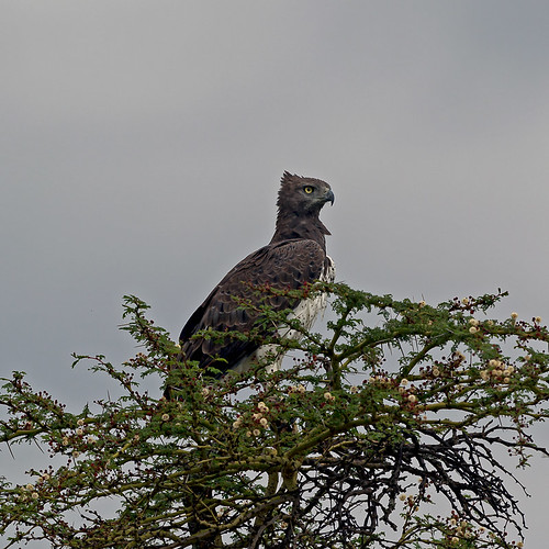 park lake kenya national nakuru birdwatcher martialeagle polemaetusbellicosus goldwildlife naturesgreenpeace mothernaturesgreenearth amazingwildlifephotography macswildpixels