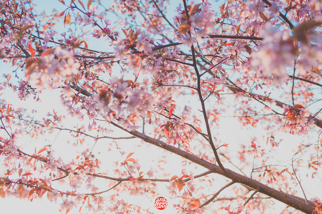 147/365 Cherry Blossoms
