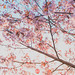 147/365 Cherry Blossoms by Jussi Hellsten Photography