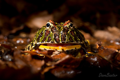 Argentinean Ornate Horned Frog