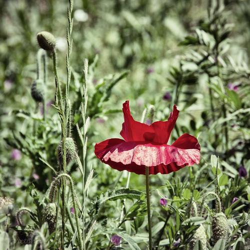Poppy Blossom or fairy tutu?