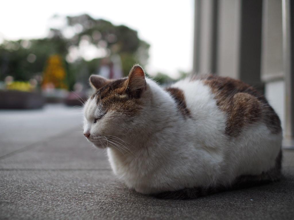 Enosima Cat