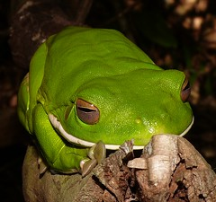 Frogs of Whitsunday Shire