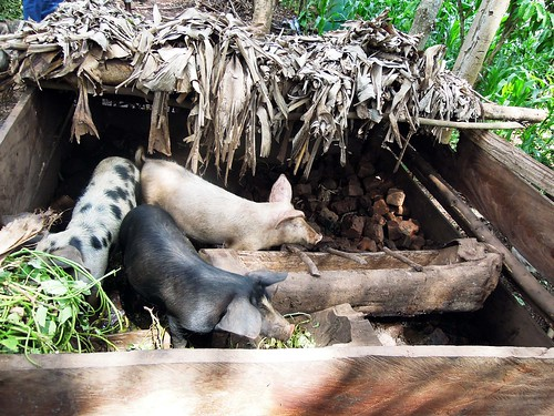 Cross-bred Pigs in Kiboga District, Uganda