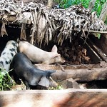 Cross-breed Pigs in Kiboga district (Uganda)