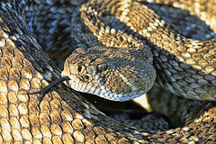 animal, serpent, snake, reptile, fauna, viper, close-up, scaled reptile, kingsnake, wildlife,