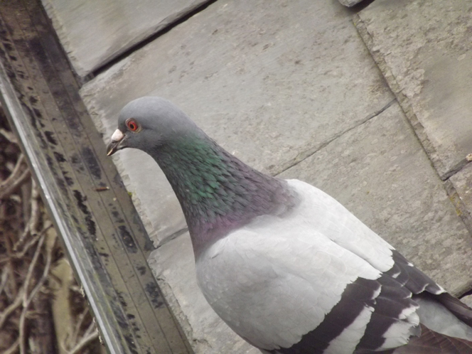 pigeon_on_the_roof