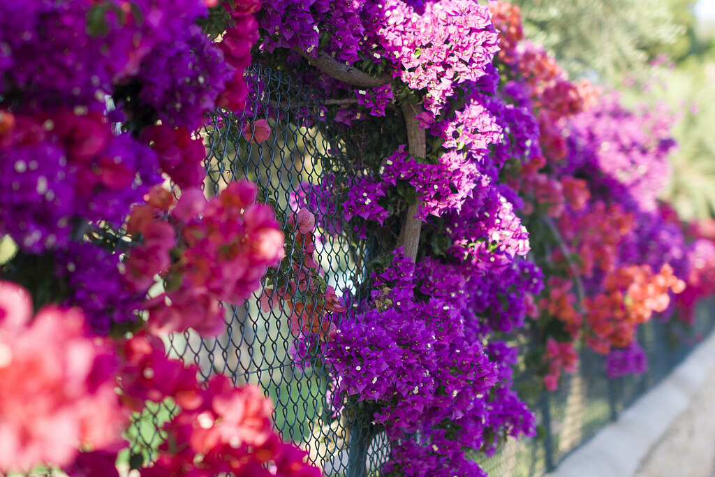 Flowers of Bougainvillea in Cala D'Or - Mallorca