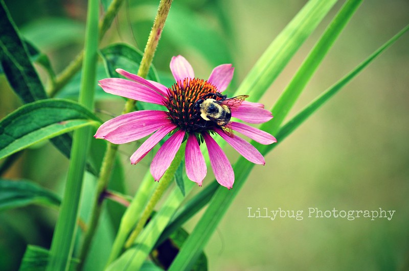 bee on flower (Color)