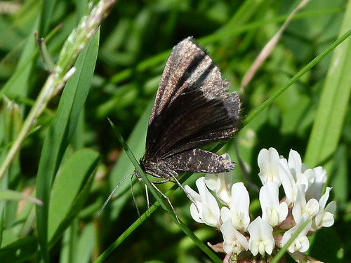 Chimney Sweeper (Odezia atrata) by Peter Orchard
