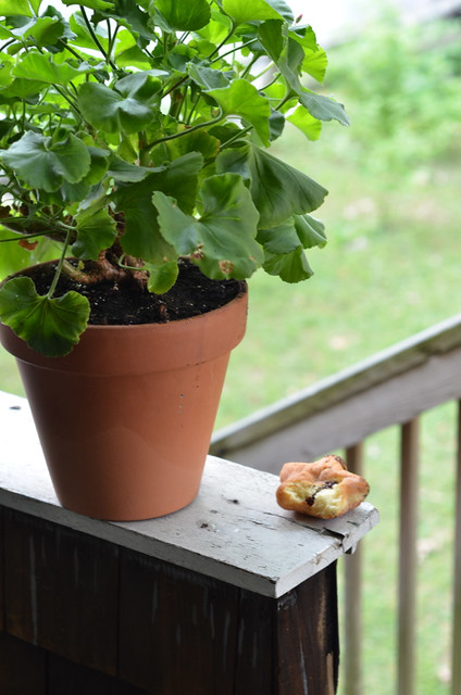 squirrel buried this donut in the geranium
