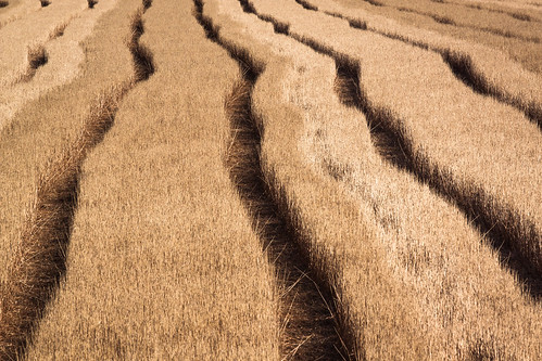 Wheat Field Lines