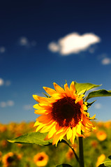 [Free Images] Flowers / Plants, Sunflower ID:201207150800