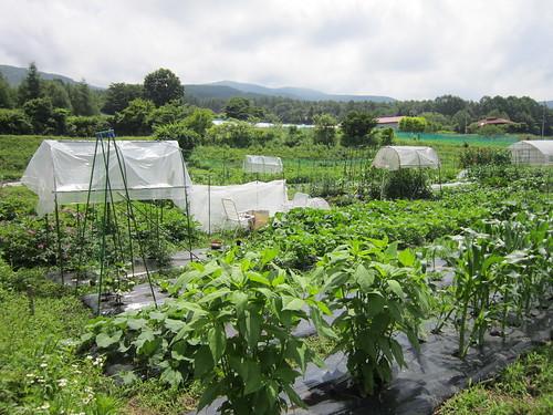 伸び盛りの畑 2012年7月10日 by Poran111