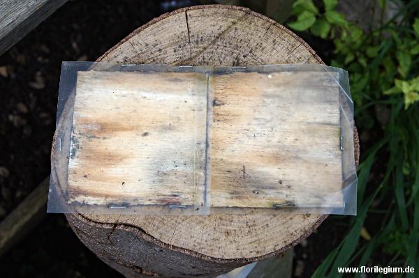 Pilzbrut von Shiitake-Pilzen (Lentinula edodes oder Lentinus edodes) auf Buchenholz
