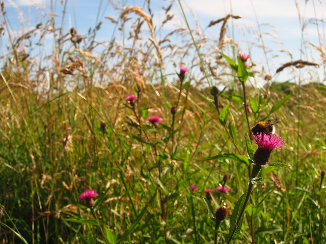 Lesser Knapweed on Pryors Field, Hampstead Heath