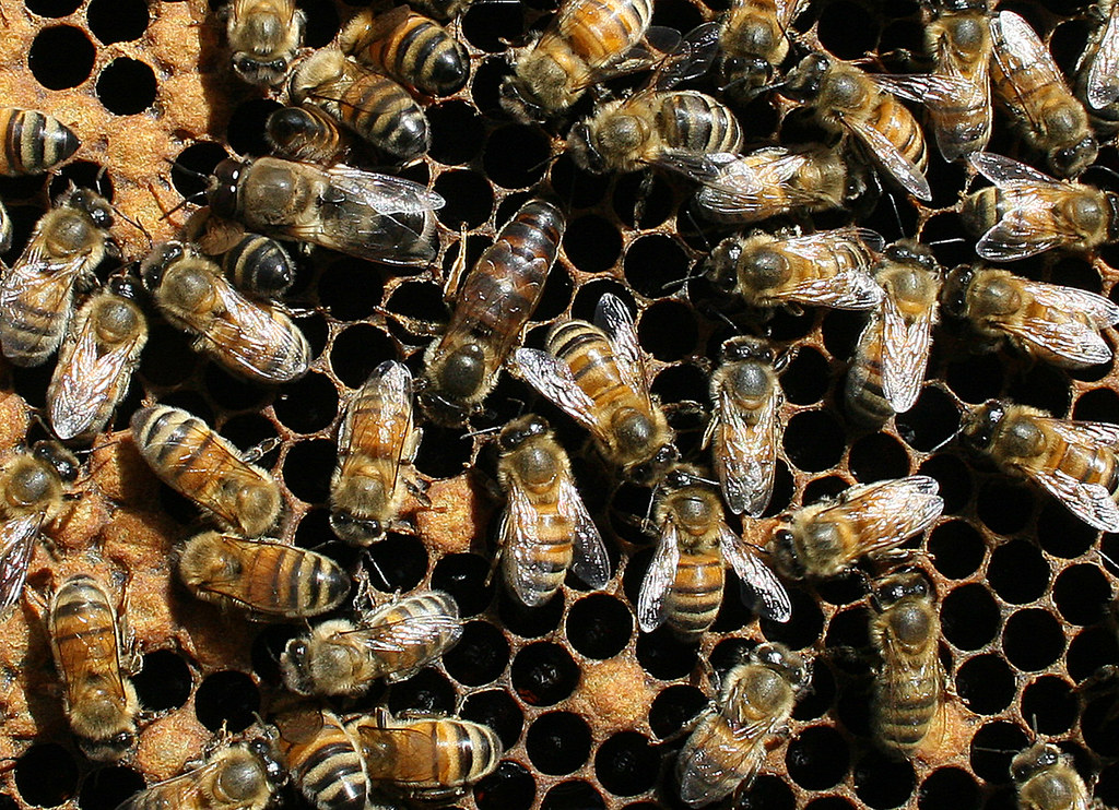 Honey bee queen and workers